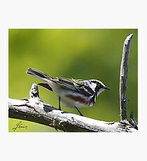 The male Chestnut-sided Warlber Photographic Print