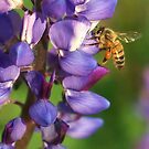 Spring Honey Bee on Lupine by K D Graves Photography
