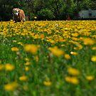 field of Buttercups  by Jeff stroud