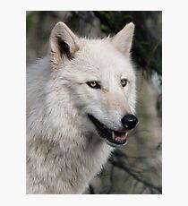 Grey Wolf Portrait Photographic Print