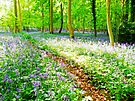 Amonst the Bluebells Turville - Orton by Colin  Williams Photography