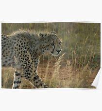 Cheetah, Shamwari reserve, South Africa Poster