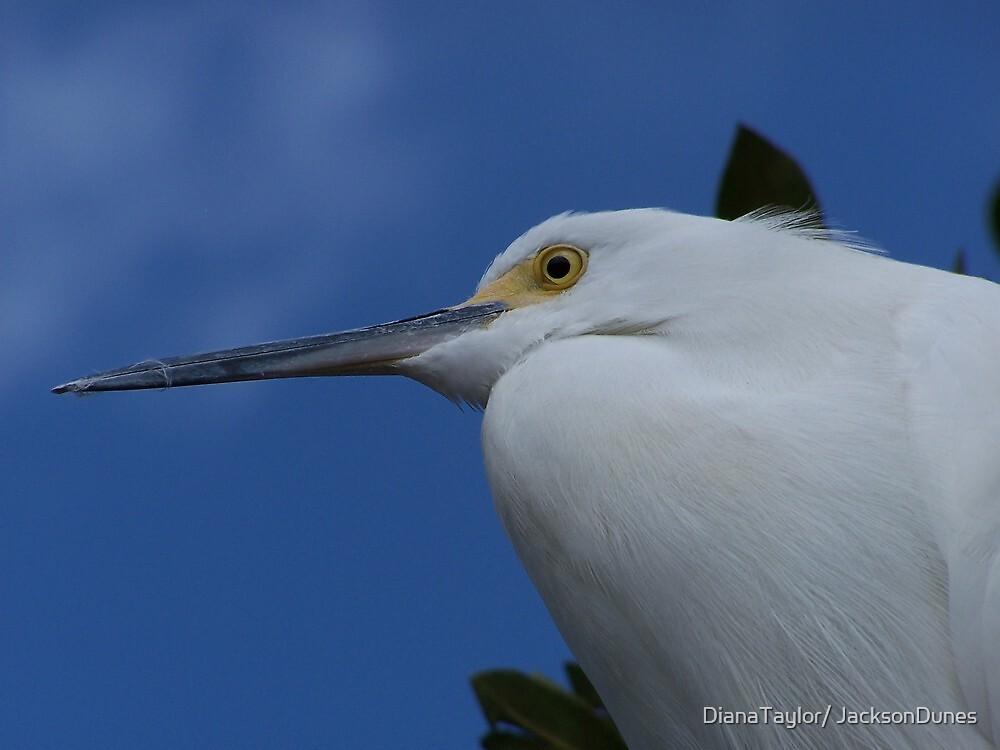 Egret by DianaTaylor/ JacksonDunes