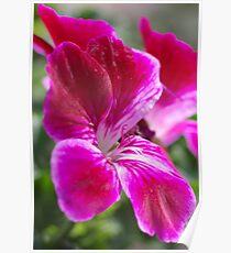 Pink Pelargonium Poster