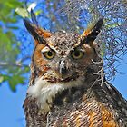 Great Horned Owl by Anthony Goldman