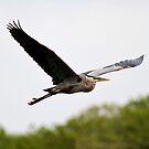 Great Blue Heron by Erik Anderson