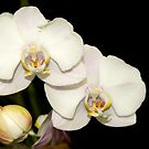 Orchid Flower in Bloom by Jason Pepe