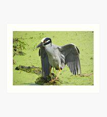 Yellow-crowned Night Heron Art Print