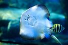 Smiling Manta-ray by Renee Hubbard Fine Art Photography