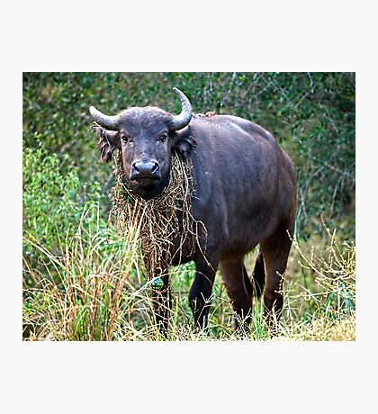 Female Buffalo With Necklace Photographic Print