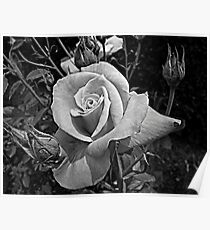 A Rose is Still a Rose Poster