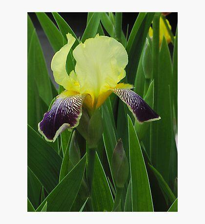 Two Toned Iris Photographic Print
