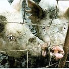 Pigs by Jim DeMore