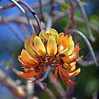 Coral Tree Flowers by Cloudlingpics