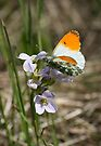 Orange Tip Feeding by John Keates