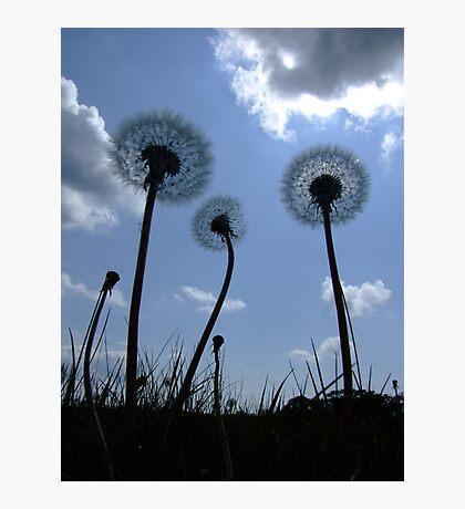 Dandelions Photographic Print