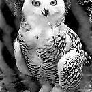 Snow Owl Baby by Ned Elliott