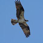 Osprey soaring by Zina Stromberg