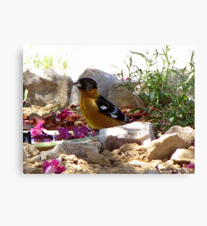 Black-headed Grosbeak ~ Male (breeding) Canvas Print