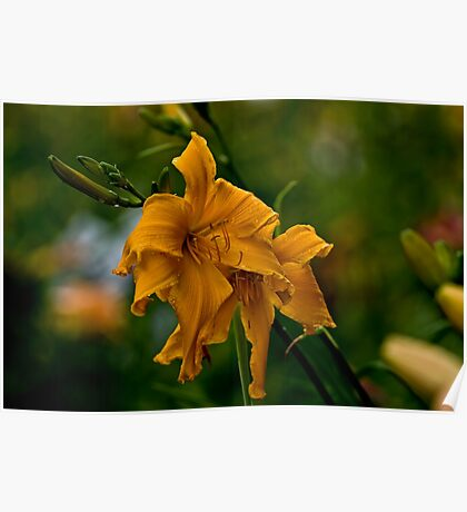 "Daylily ""Jersey Spider"" Poster"