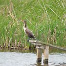 Young Double Crested Cormorant by KylaStanAuthor