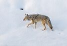 Cold coyote by Anthony Brewer