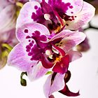 Orchid Duett by Kasia-D