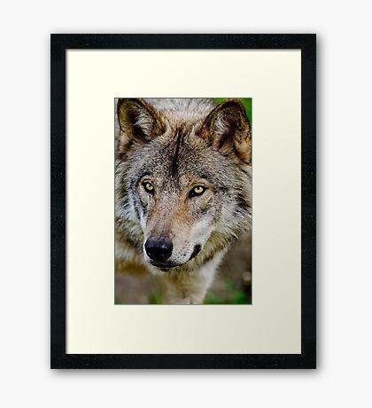 Timberwolf Portrait  Framed Print
