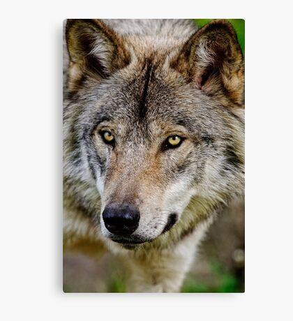 Timberwolf Portrait  Canvas Print
