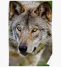 Timberwolf Portrait  Poster