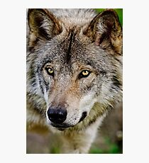 Timberwolf Portrait  Photographic Print