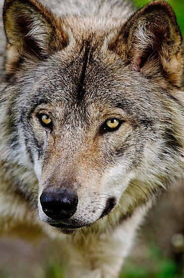 Timberwolf Portrait  by Michael Cummings