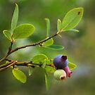 Wild Huckleberry by Richard G Witham