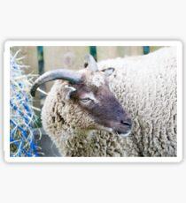 Soay Sheep Sticker