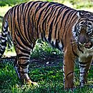 Hungry Tiger by miroslava