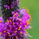 Purple Prairie Clover 2 by Jimmy Ostgard
