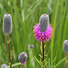 Purple Prairie Clover 4 by Jimmy Ostgard