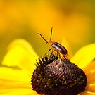 Blister Beetle 2 by Jimmy Ostgard