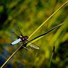 Libelle - Insekt  von laura-S
