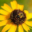 Hoverfly by Jimmy Ostgard