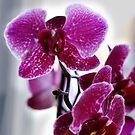 Orhidee - Blume  von laura-S