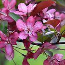 Crabapple Blossom II by MDossat