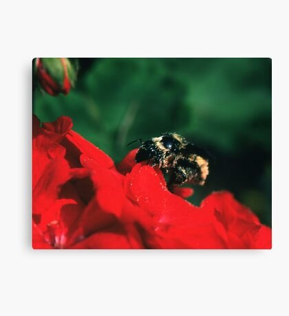 Bee on red flower Canvas Print