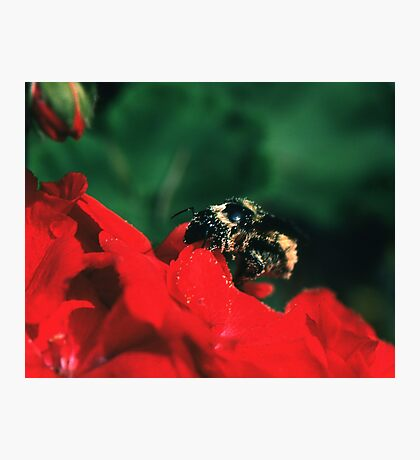 Bee on red flower Photographic Print