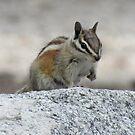 Chipmunk by Steve Hunter