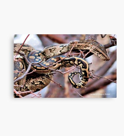 PHYTHON NATALENSIS - The South African python Canvas Print