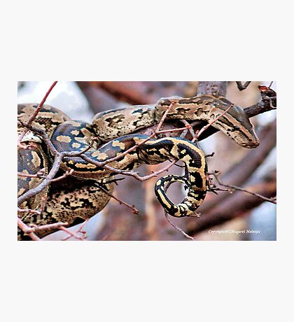 PHYTHON NATALENSIS - The South African python Photographic Print