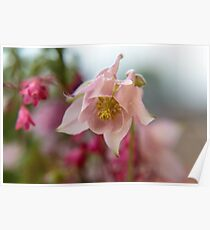 Blossom of a Aquilegia in Pink Poster