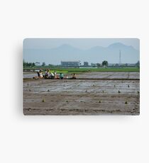 ricefield Canvas Print