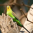 Wild Budgerigar by Richard  Windeyer